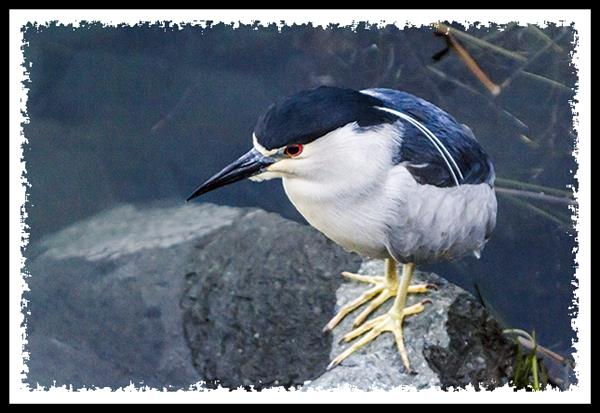 Black-crowned Night Heron at Mission Bay Park