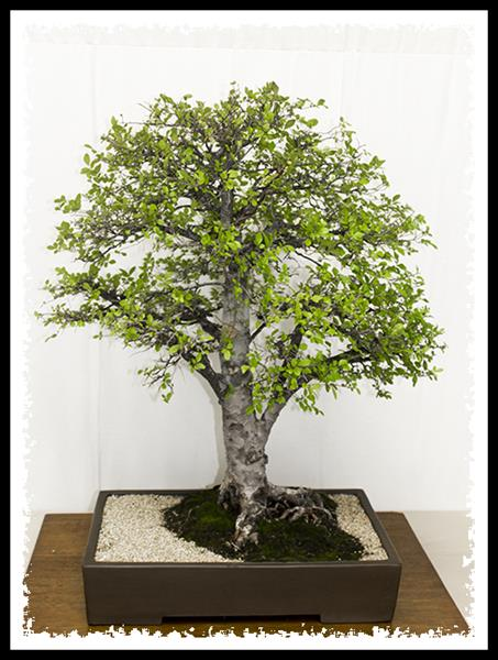 Bonsai at Los Angeles County Arboretum & Botanical Garden