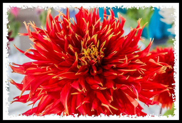 Dahlias at the 2013 San Diego County Fair