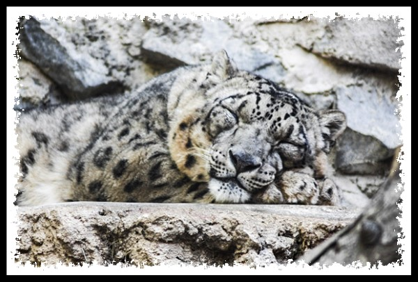 Snow leopard at the San Diego Zoo