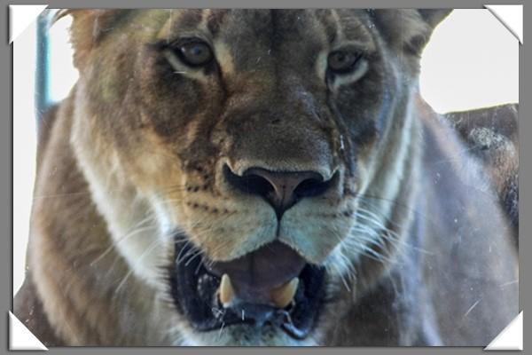 Female lion at the San Diego Zoo Safari Park