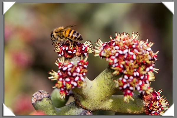 Bee and cactus flowe