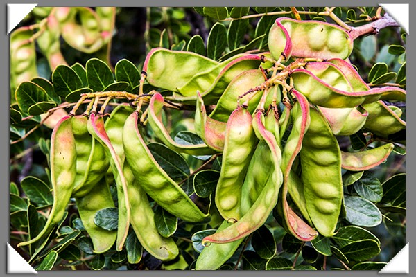 Peas in pods