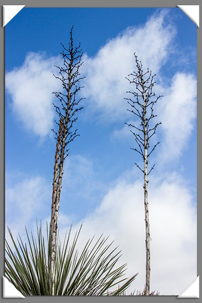 Cactus flower stalks