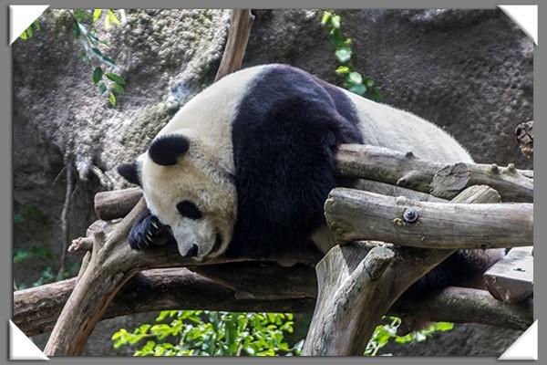 Giant panda cub at the San Diego Zoo