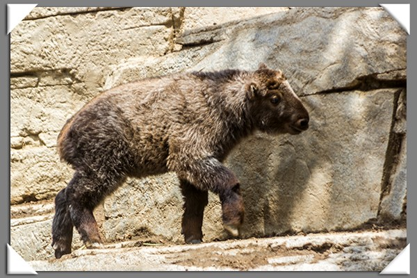 Baby takin at the San Diego Zoo
