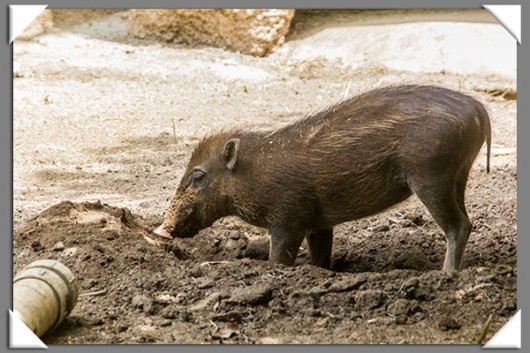 Baby visayan warty pig at the San Diego Zoo
