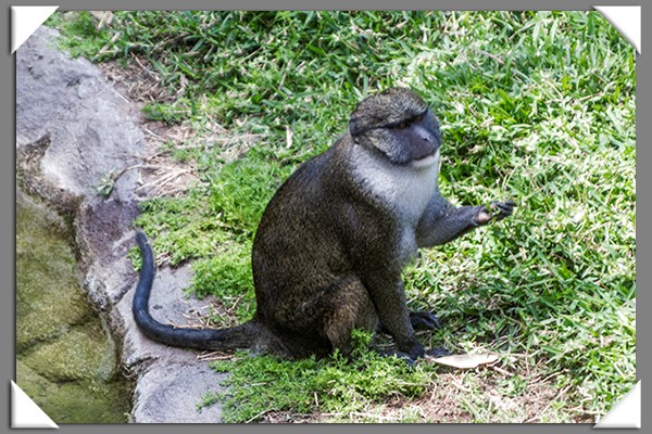 Guenon at the San Diego Zoo