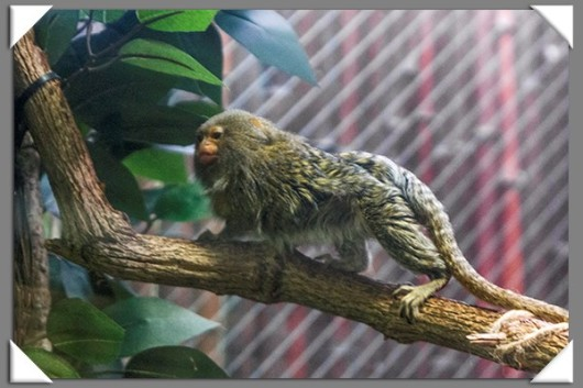 Pygmy marmoset at the San Diego Zoo