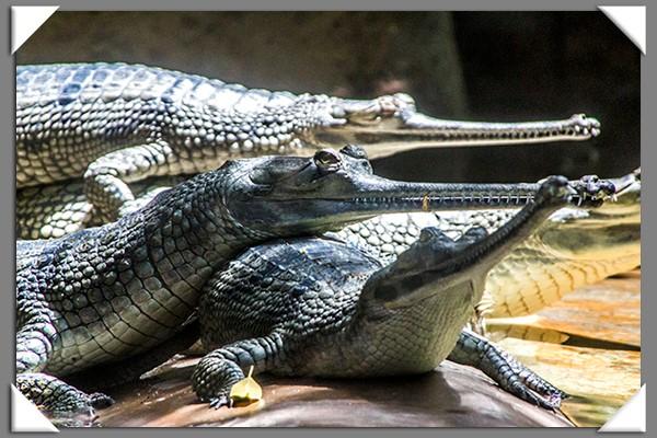 Johnston's crocodiles at the San Diego Zoo
