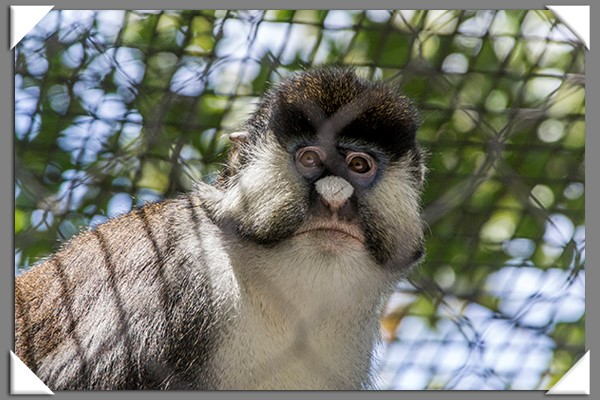 Spot-nosed guenon at the San Diego Zoo