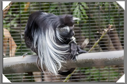 Eastern Angolan colobus at the San Diego Zoo