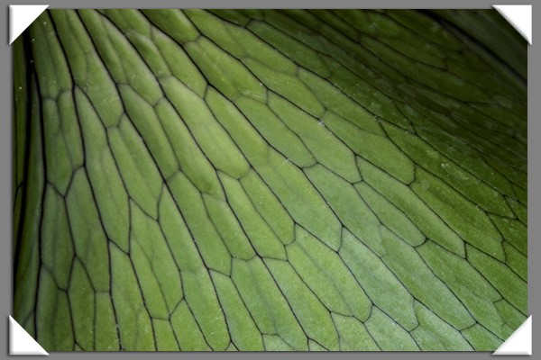 Staghorn fern leaf