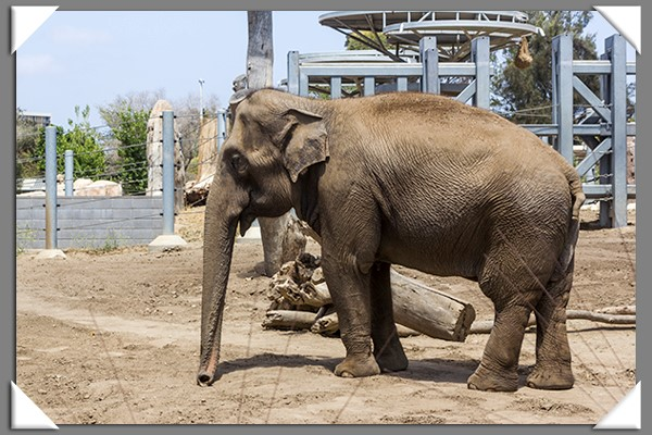 Elephant at the San Diego Zoo