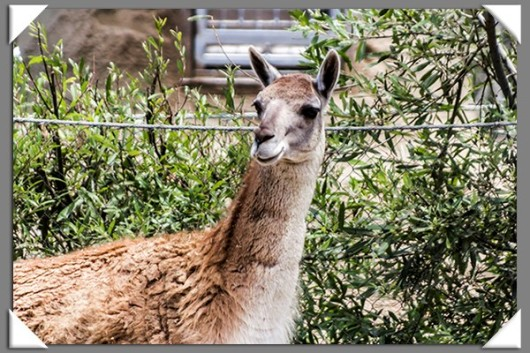Guanaco at the San Diego Zoo