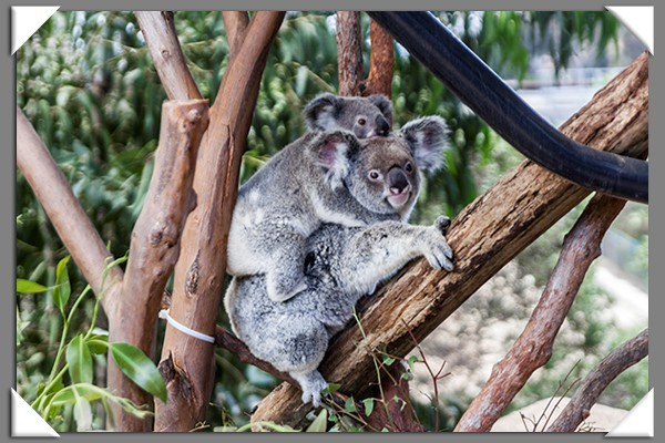 Mama koala and her joey at the San Diego Zoo