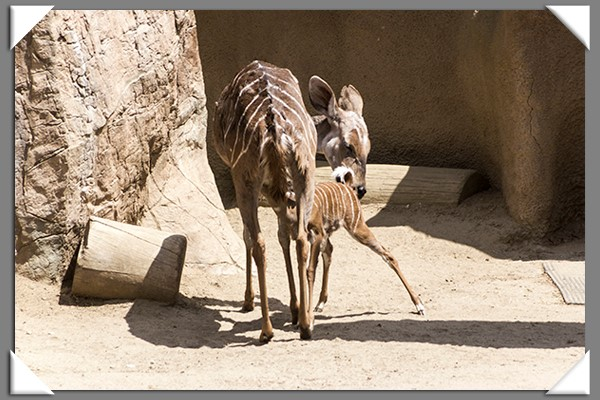Mama lesser kudu and her baby at the San Diego Zoo