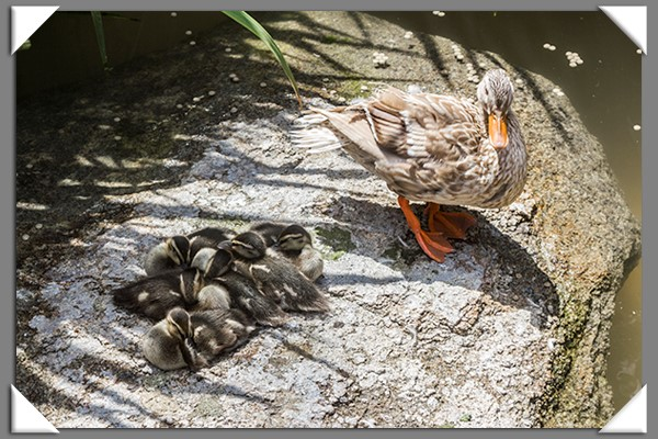 Mama mallard duck and her ducklings at the San Diego Zoo