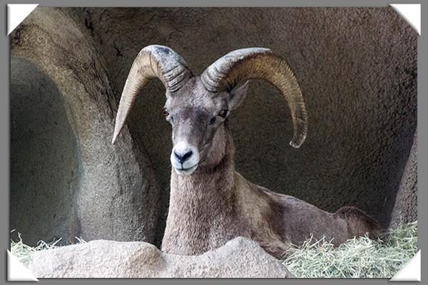 Desert bighorn sheep at the San Diego Zoo