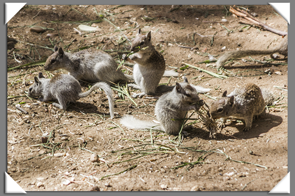 Squirrels at Chollas Lake Park in San Diego