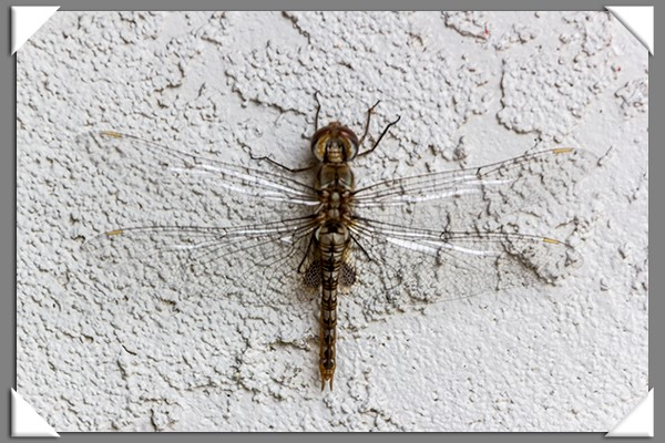 Dragonfly visiting my garden wall