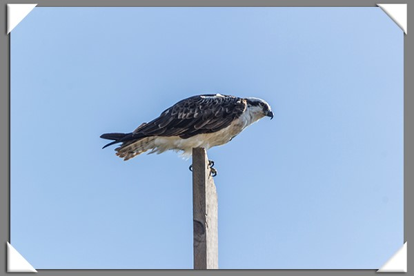 Osprey on Shelter Island in San Diego
