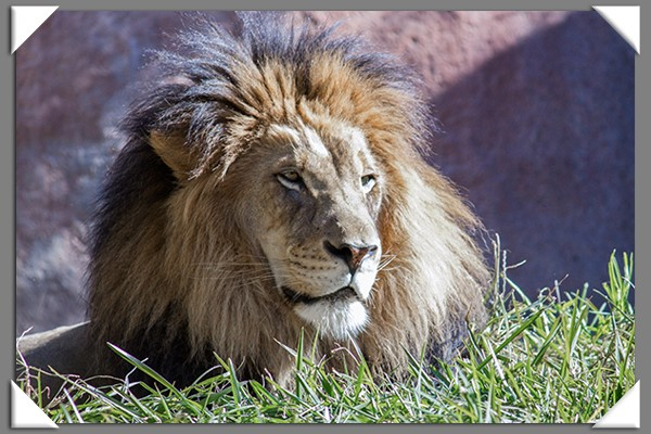 Male lion at the San Diego Zoo Safari Park