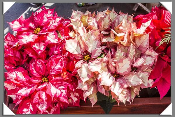 Poinsettias from the 2013 San Diego County Fair