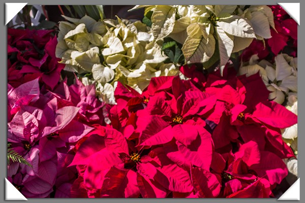 Poinsettias from the 2013 San Diego County Fair