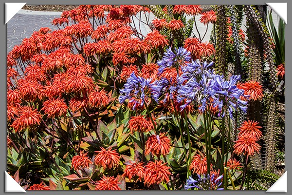 Aloe and Agapanthus (Lily of the Nile)