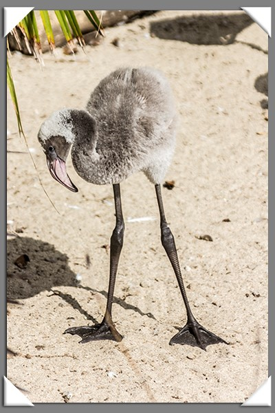 Two-month-old flamingo chick at the San Diego Zoo