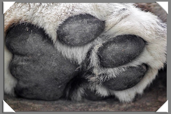 African lion paw at the San Diego Zoo Safari Park