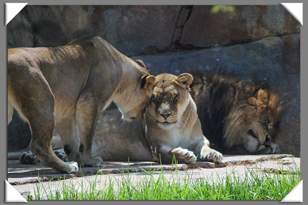 African lions at the San Diego Zoo Safari Park