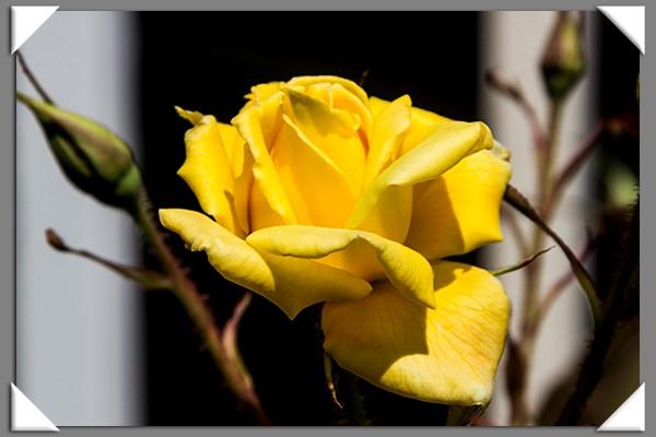Weedy rose
