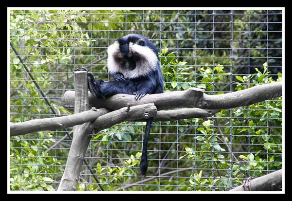 Lion-tailed macaque at the San Diego Zoo May 2013