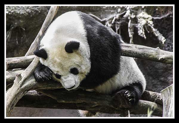 Giant Panda at the San Diego Zoo May 2013