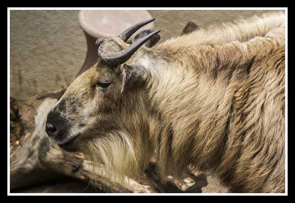 Baby takin at the San Diego Zoo May 2013