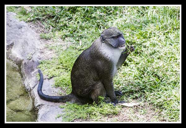 Guenon at the San Diego Zoo May 2013