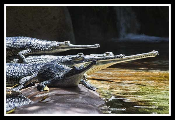 Freshwater crocodiles at the San Diego Zoo