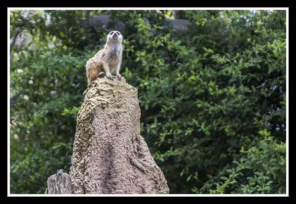 Meerkat sentry at the San Diego Zoo