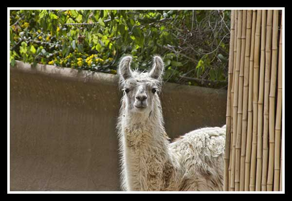 Llama at the San Diego Zoo