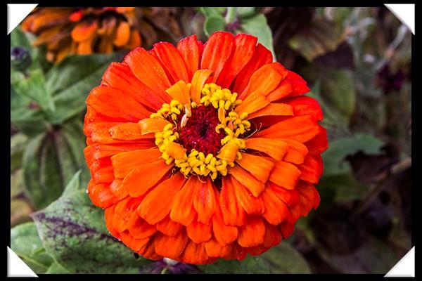 Flower in an organic garden