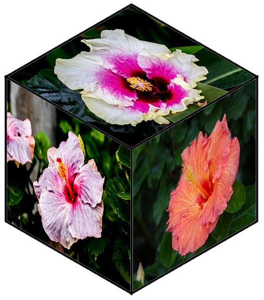 Hibiscus cube