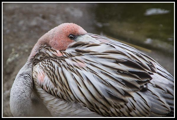 Immature flamingo at the San Diego Zoo