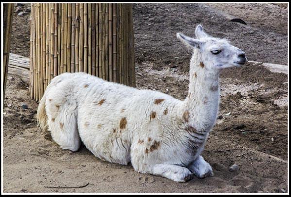 Llama at the San Diego Zoo