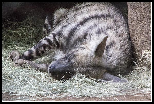 Striped hyena at the San Diego Zoo