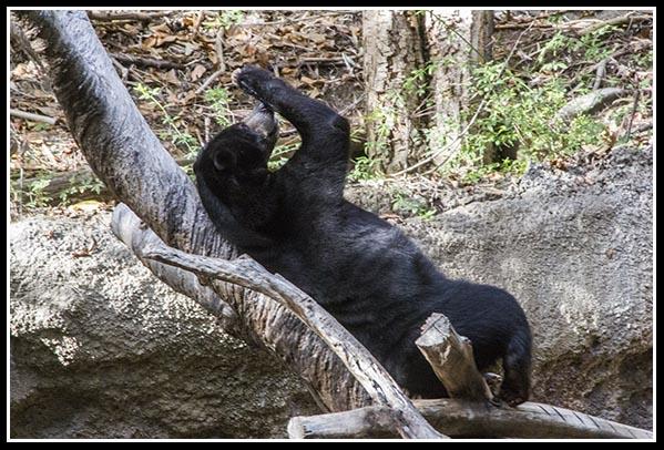 Sun bear at the San Diego Zoo