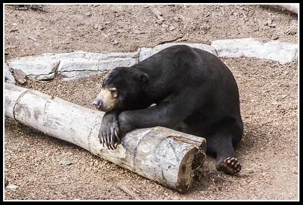 Bornean Sun Bear at the San Diego Zoo