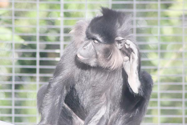 Black mangabey at the San Diego Zoo