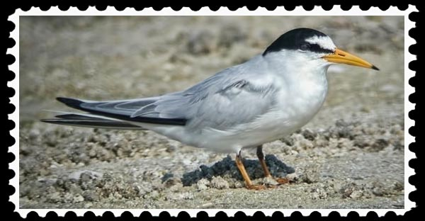California Least Tern